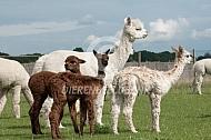 Alpaca's met suri cria's