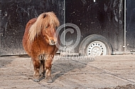 Shetlander pony in de uitloop