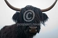 Zwatre Schotse hooglander