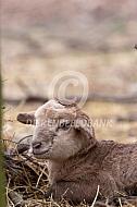 Bruin zelfruiend haarschaap lam
