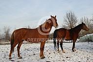 Gelderse paarden in de sneeuw