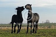 Spelende friese paarden