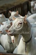 Witte melkgeiten