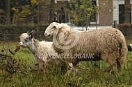 Veluws heideschaap met landgeit