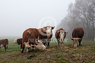 Hereford runderen in de mist