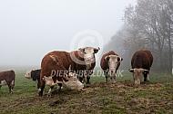 Hereford runderen in de mist