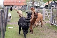Rennende alpaca