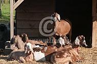 Zonnende Nubische geiten