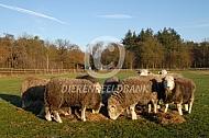 Herdwick schapen eten hooi