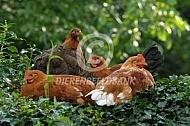 Jonge kippen