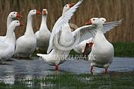 Verwilderde witte ganzen
