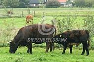 Dexter koeien (kruising)