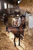 Nubische bokken op stal