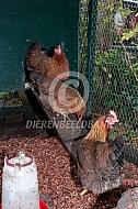 Welsumer kippen bij hun hok