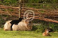 Drentse heideschapen met lam