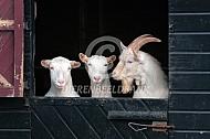 Witte melkgeit in de stal