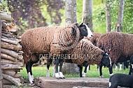 Zwartbles schapen met lammeren