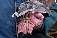 Hoe houd ik een eend vast