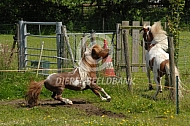Amerikaanse minipaarden (hengsten)
