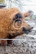 Hongaars wolvarken beer
