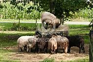 Drentse heideschapen bij hooiruif