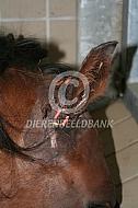 Afgescheurd oor paard
