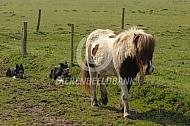 IJslander paard wordt opgehaald door de hond