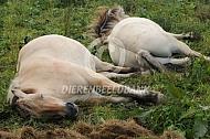 Rustende Fjorden paarden