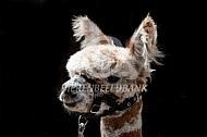 Appeloosa alpaca