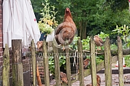 Kuikens Welsumer op een hek
