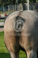 Trekpaard met gecoupeerde staart