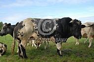 Belgische witblauwe stier
