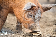 Big van het duroc varken