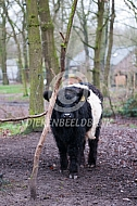 Belted Galloway kalf