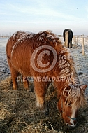 Shetlander in de winter