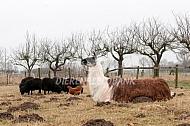 Liggende lama met kip en ouessant schapen