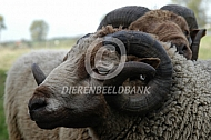 Shetlander ram
