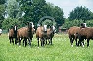 Kudde jonge zwartbles schapen