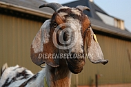 Nubische geit