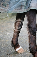 Paard met lange beenbeharing