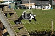 Nederlandse Landgeit lammeren