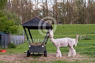 Alpaca bij een hooiruif