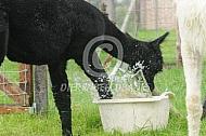 Alpaca met waterbak