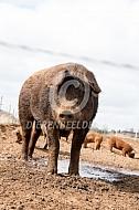 Duroc vleesvarken