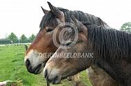 Trekpaard met jaarling