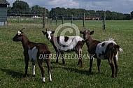Bruin bonte geiten