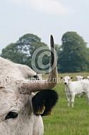 Hoorn van het White Park cattle