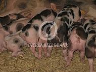 Biggen van het Piëtrain varken