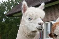 Alpaca met blauwe ogen