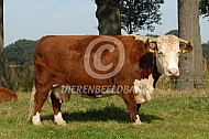 Hereford rund
